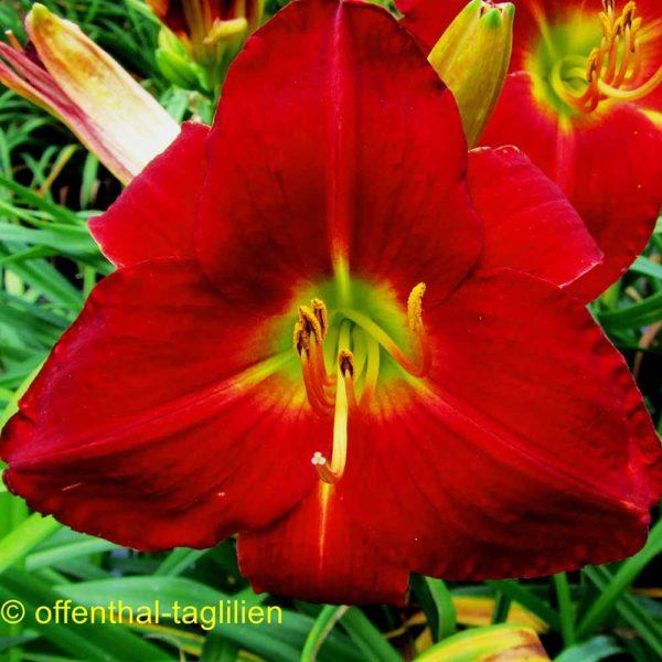 Hemerocallis / Taglilie 'Abex'