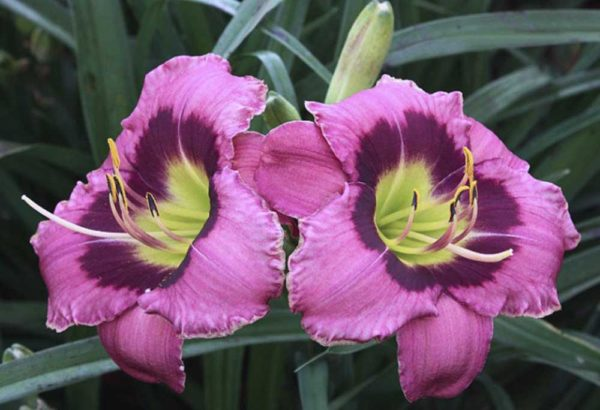 Hemerocallis / Taglilie 'Always Afternoon'