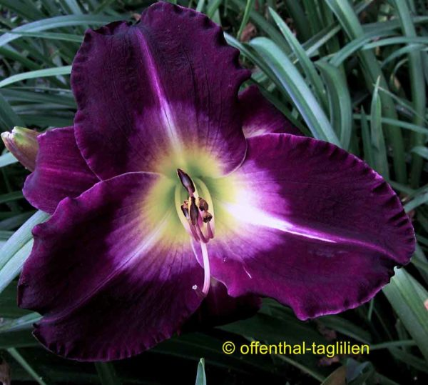 Hemerocallis / Taglilie 'Another Night'
