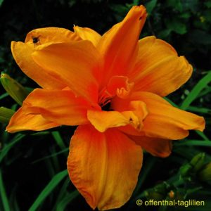 Hemerocallis fulva 'Apricot Beauty'