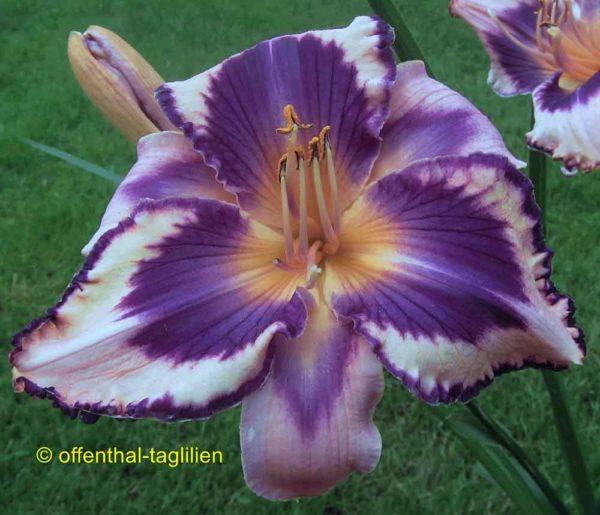Hemerocallis / Taglilie 'Ashton Giggles'