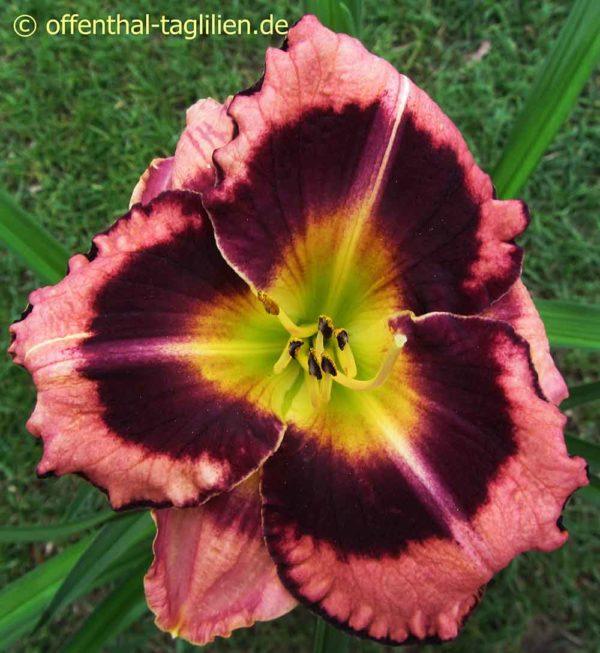 Hemerocallis / Taglilie 'Big City Eye'