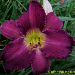 'Chicago Pansy'