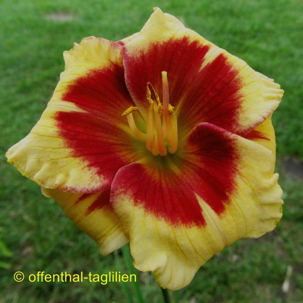 Hemerocallis / Taglilie 'Fair Game'