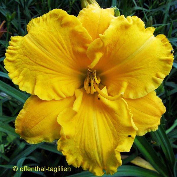 Hemerocallis / Taglilie 'Goldfiligran'