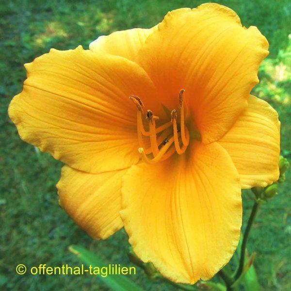 Hemerocallis / Taglilie 'Lyttleton'