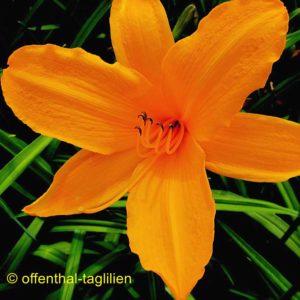 'Norton Orange'