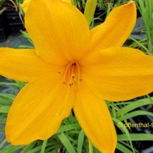 'Orange Prelude'
