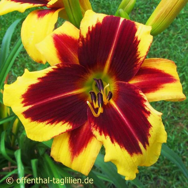 Hemerocallis / Taglilie 'And The Light Is You' 2