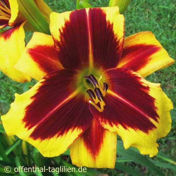 Hemerocallis / Taglilie 'And The Light Is You' 1