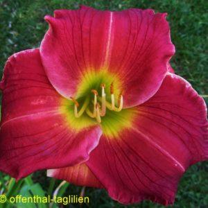 'Caribbean Rose'