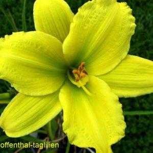 'Green Flutter'
