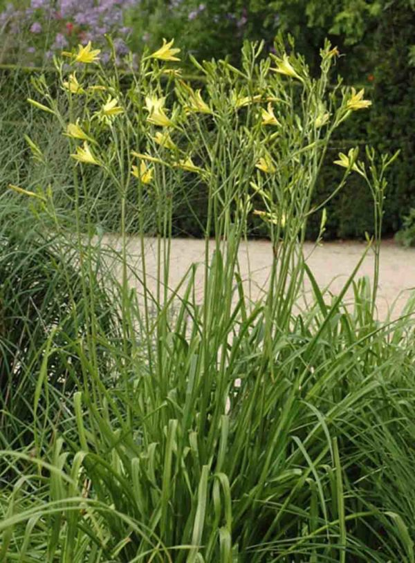 Hemerocallis / Taglilie Hemerocallis altissima