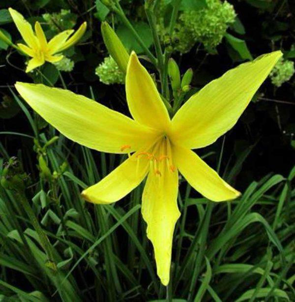 Hemerocallis / Taglilie Hemerocallis citrina 'Baronii'