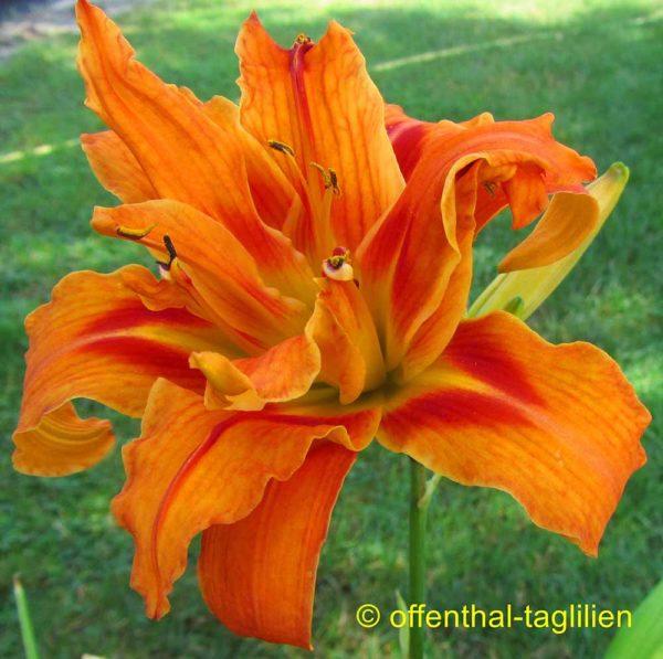 Hemerocallis / Taglilie Hemerocallis fulva 'Kwanzo Floro Pleno'