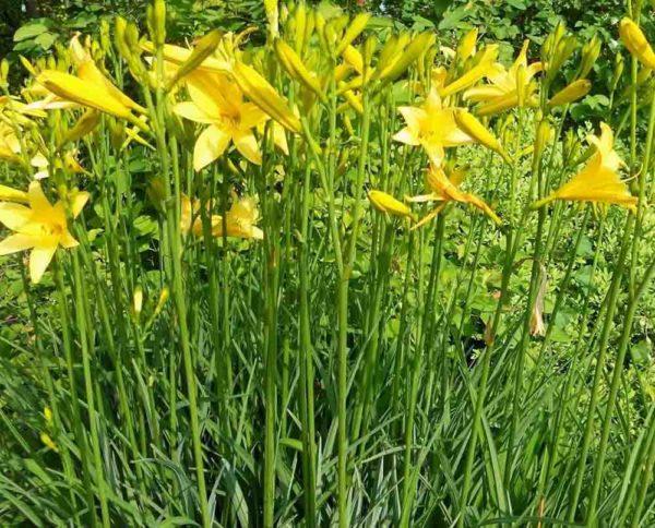 Hemerocallis / Taglilie Hemerocallis middendorfii