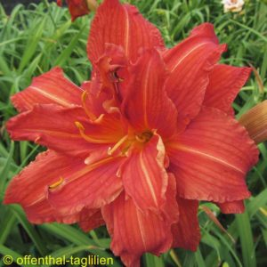 'Sachsen Red Double'