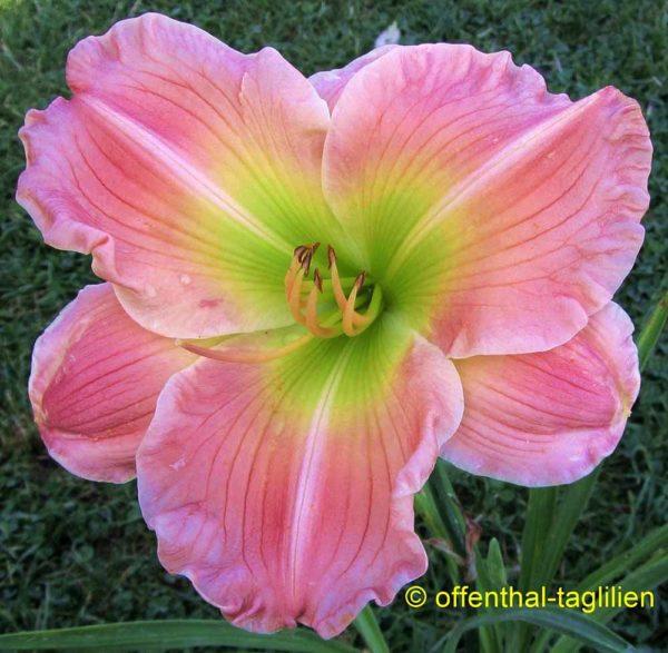 Hemerocallis / Taglilie 'True Pink Beauty'