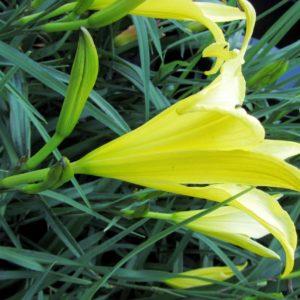 Hemerocallis citrina