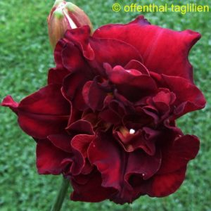 'Red Boutonniere'