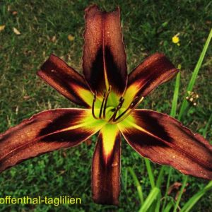 'Brown Witch'
