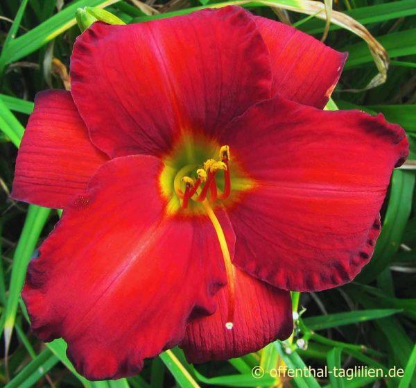 Hemerocallis / Taglilie 'Chicago Apache'