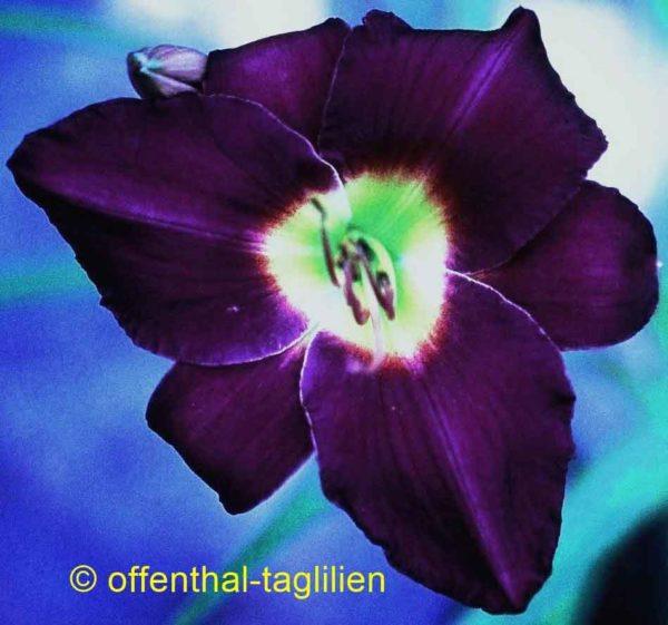 Hemerocallis / Taglilie 'Chicago Royal Robe'