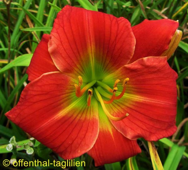 Hemerocallis / Taglilie 'Ciao'