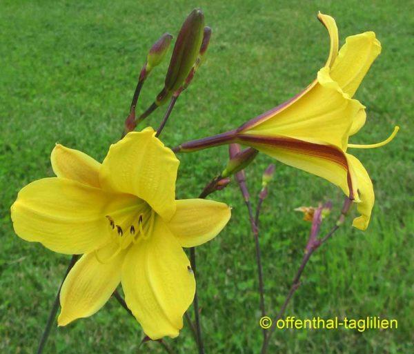 Hemerocallis / Taglilie 'Corky'