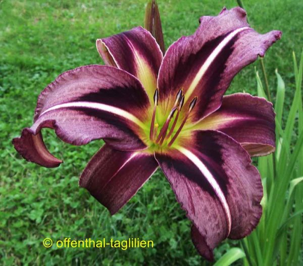 Hemerocallis / Taglilie 'Creature Of The Night'