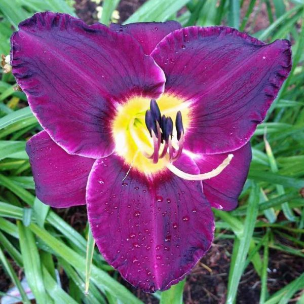 Hemerocallis 'Crown Royal'