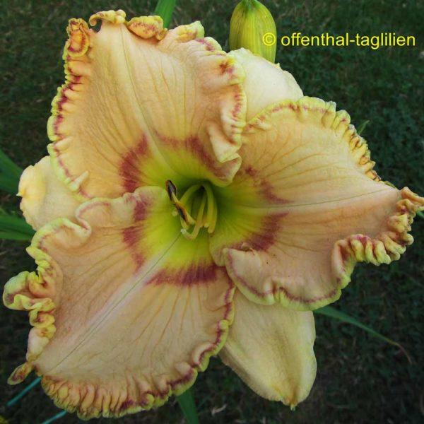 Hemerocallis / Taglilie 'Ellis Powell'