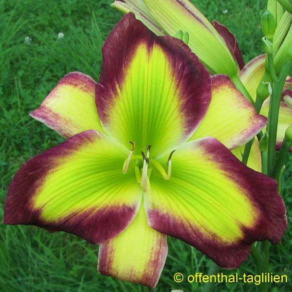 Hemerocallis / Taglilie 'Emerald Starburst'