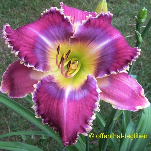 Hemerocallis / Taglilie 'Emmerich Sämling 11001'