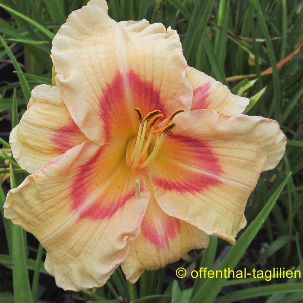Hemerocallis / Taglilie 'Ethel Horne'