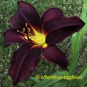 'Mayah Purple'