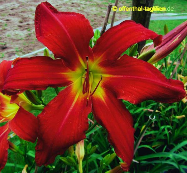 Hemerocallis / Taglilie 'Omega Red'