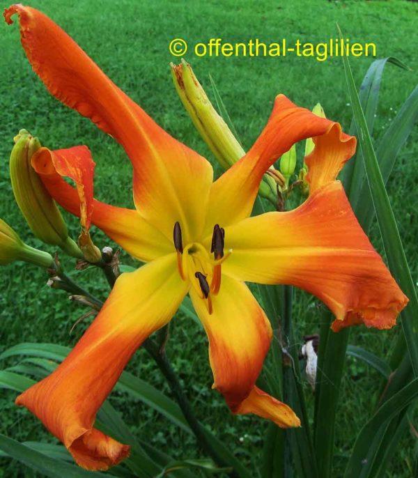 Hemerocallis / Taglilie 'Orange Clown'