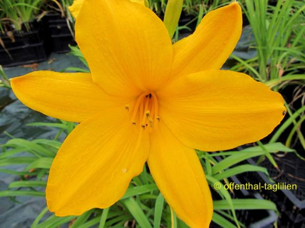 Hemerocallis / Taglilie 'Orange Prelude'