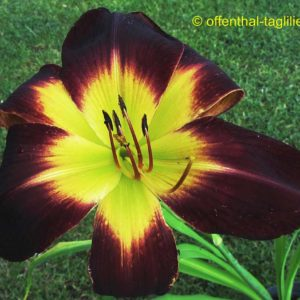 'Persian Ruby'