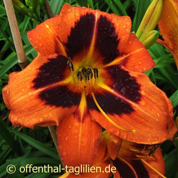 Hemerocallis / Taglilie 'Heidjer's Ancient Glow'