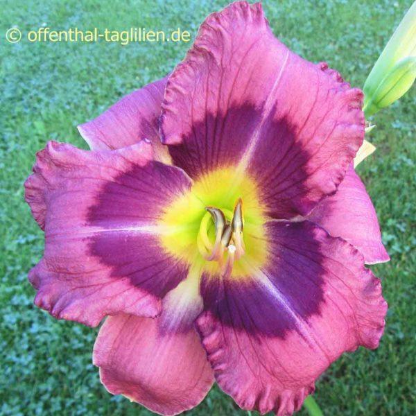Hemerocallis / Taglilie 'Heidjer's Blueberry Sorbet' 2