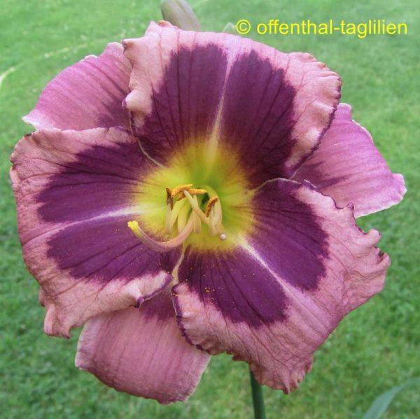 Hemerocallis / Taglilie 'Heidjer's Blueberry Sorbet'