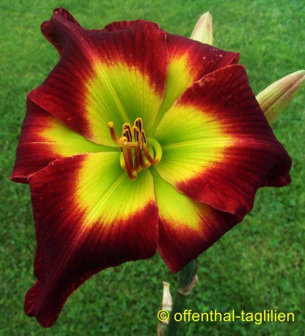 Hemerocallis / Taglilie 'Jack In The Green'