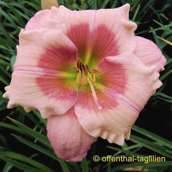 Hemerocallis / Taglilie 'Sachsen Little Ingrid'
