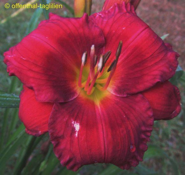 Hemerocallis / Taglilie 'Siloam Grace Stamile'