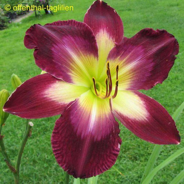 Hemerocallis / Taglilie 'Tall Dark And Handsome'