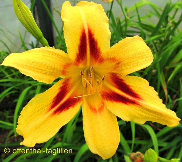 Hemerocallis / Taglilie 'Thornwell Kleb'