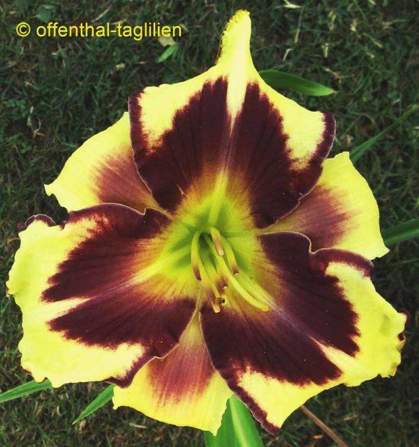 Hemerocallis / Taglilie 'Tropical Manni Raecke' 2