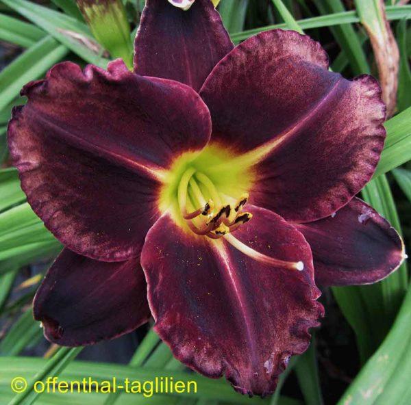Hemerocallis / Taglilie 'Tuxedo'